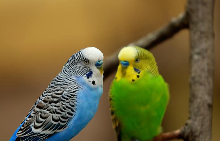 Parakeets-pets