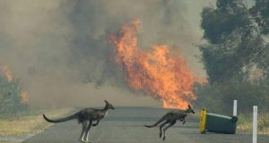 Half billion animals killed in Australia wildfires