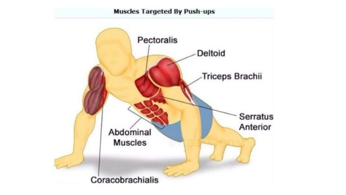 muscle What a personal trainer can explain about the biomechanics of a push-up